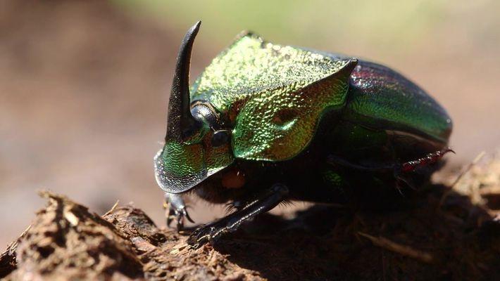 Conheça o raro e ameaçado escaravelho arco-íris
