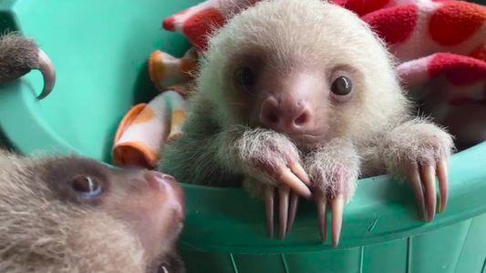 Filhotes de bicho-preguiça são resgatados e reabilitados