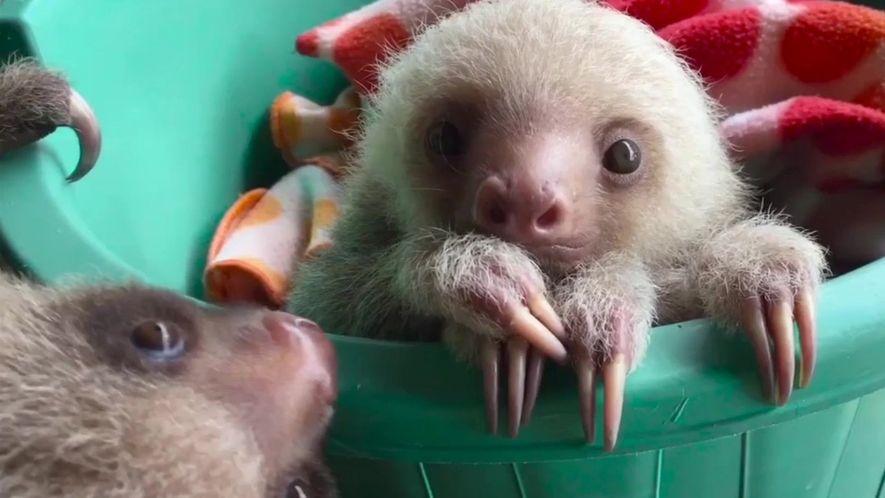 Resgate dos filhotes de bicho-preguiça