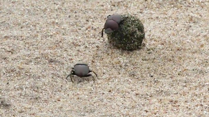 Escaravelhos batalham por uma bola de esterco
