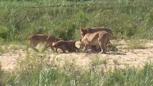 Assista a um búfalo arremessar filhote de leão pelos ares