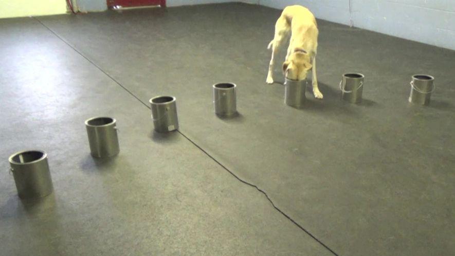 Cachorros detectam sinais de convulsões epilépticas usando o nariz