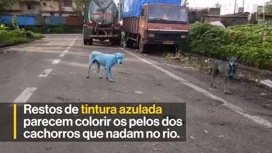 Cachorros azuis são vistos em Mumbai, na Índia