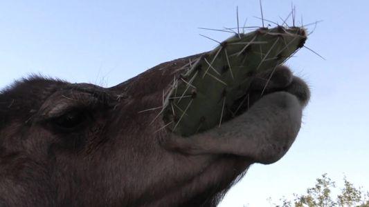 Camelos conseguem engolir cactos sem se machucar com os espinhos