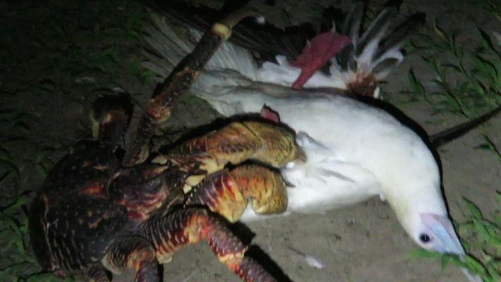 Veja um caranguejo gigante comer uma ave