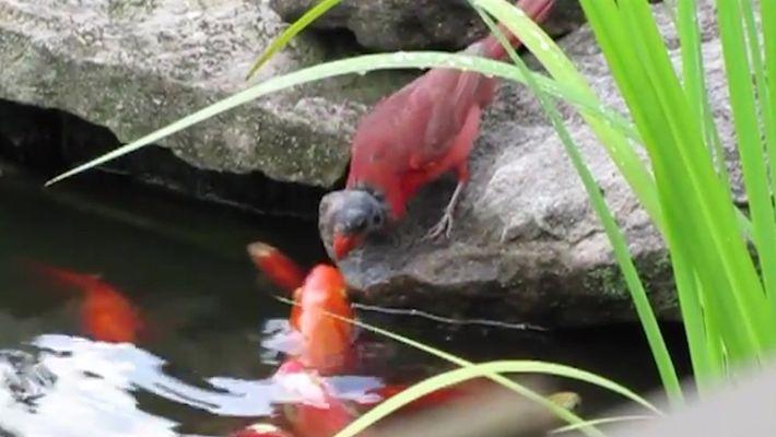 Cardeal alimenta peixes