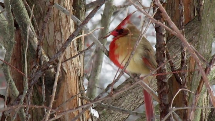 Vídeo exclusivo: esta ave rara é macho e fêmea ao mesmo tempo