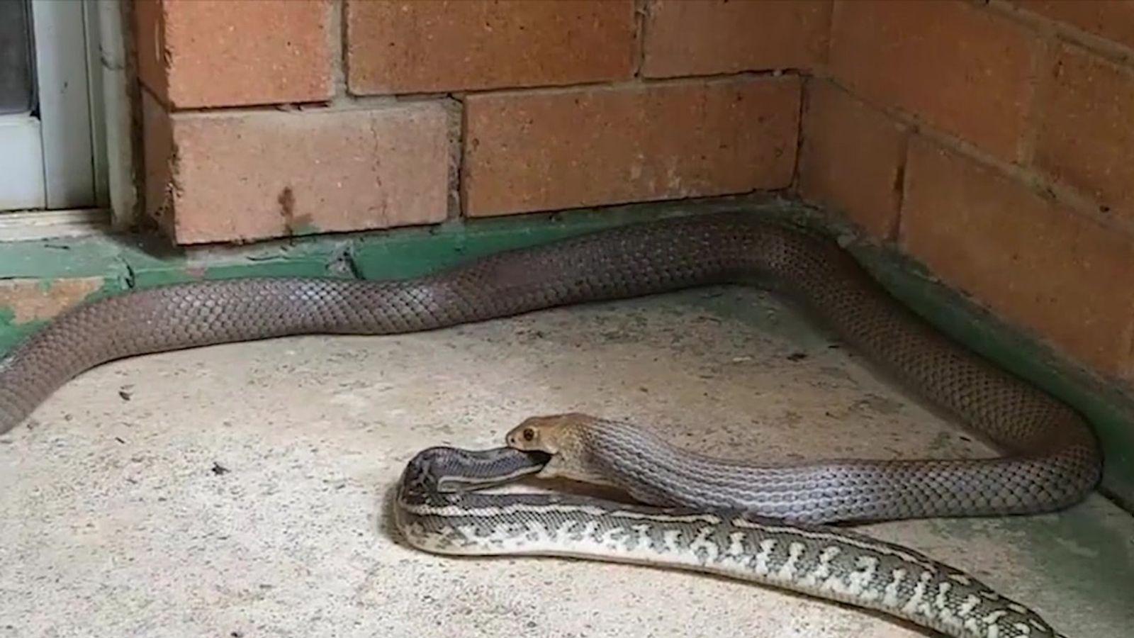 Cobra come outra cobra em vídeo surpreendente