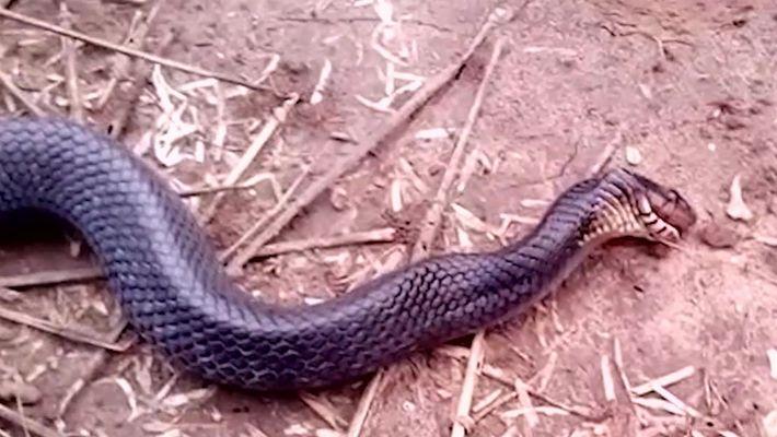 Veja uma cobra fingir-se de morta quando ameaçada