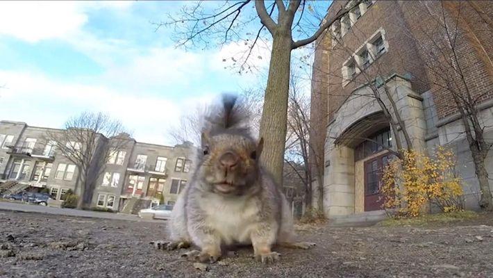 Entenda o estranho comportamento dos esquilos