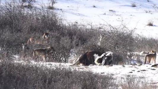 Por que estes lobos estão perseguindo um cachorro, mas não dão a mínima para um cavalo?
