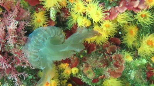 Parede de corais devora água-viva em vídeo inédito