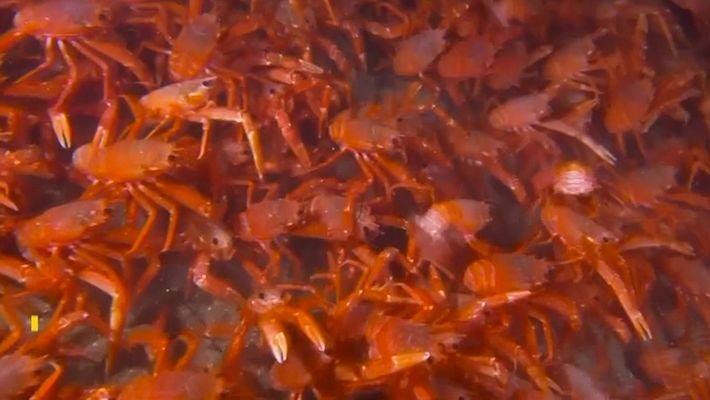 Veja milhares de pequenos crustáceos formando tapete vermelho em praia