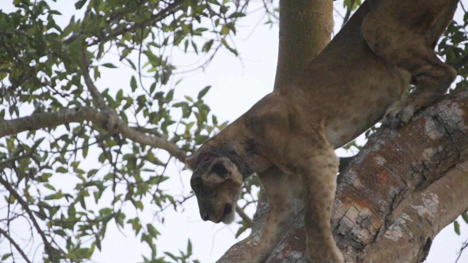 Veja a queda de uma leoa de uma árvore durante resgate