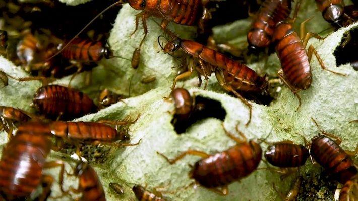 Como as baratas usam chutes de karatê para evitarem tornarem-se zumbis