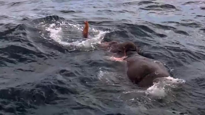 Elefante é resgatado em alto mar
