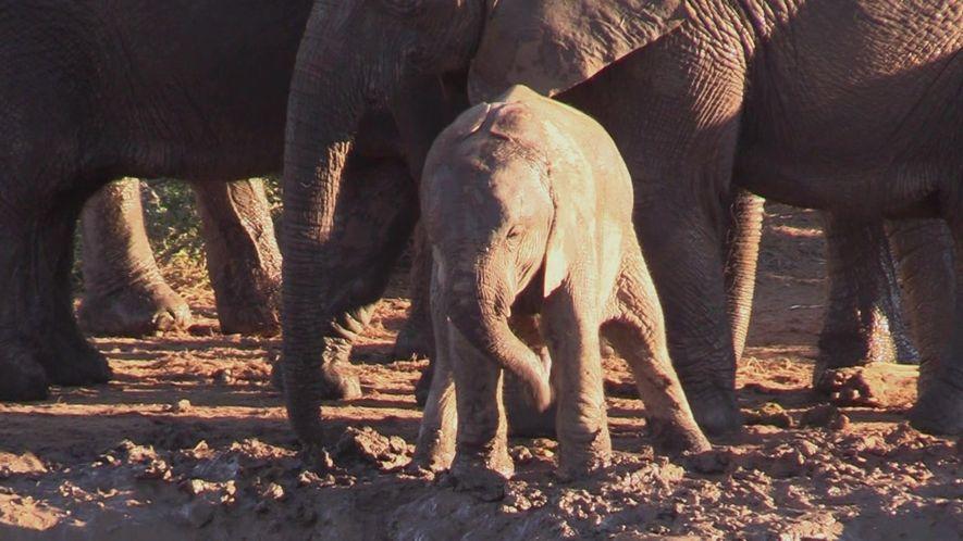 Por que este filhote de elefante está girando a tromba como um helicóptero?