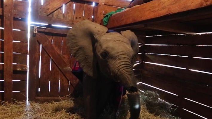 Elefante com tromba machucada