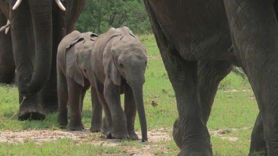 Gêmeos raros de elefante africano sobrevivem, apesar das chances pequenas