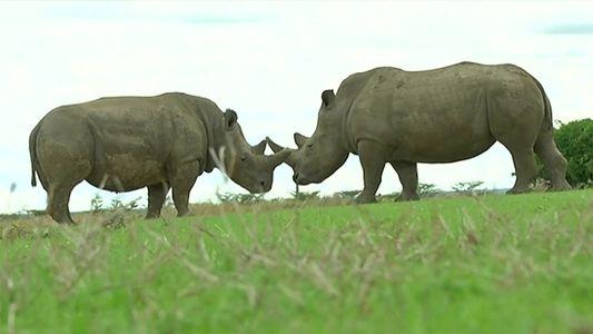 Criados em laboratório, embriões de rinocerontes são esperança para a espécie à beira da extinção