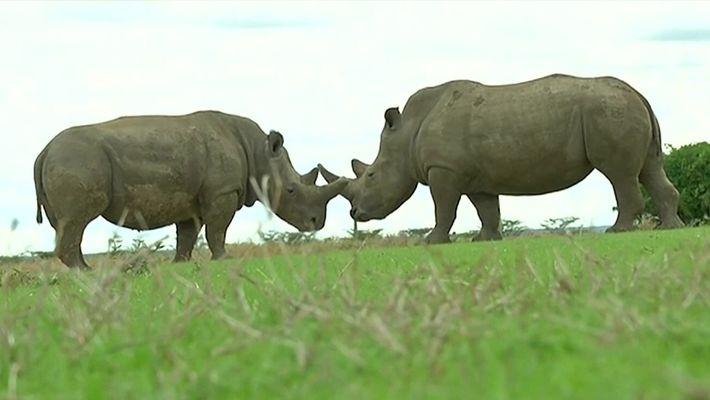 Rinocerontes-brancos-do-norte estão quase extintos, mas cientistas criaram embrião híbrido para tentar salvá-los