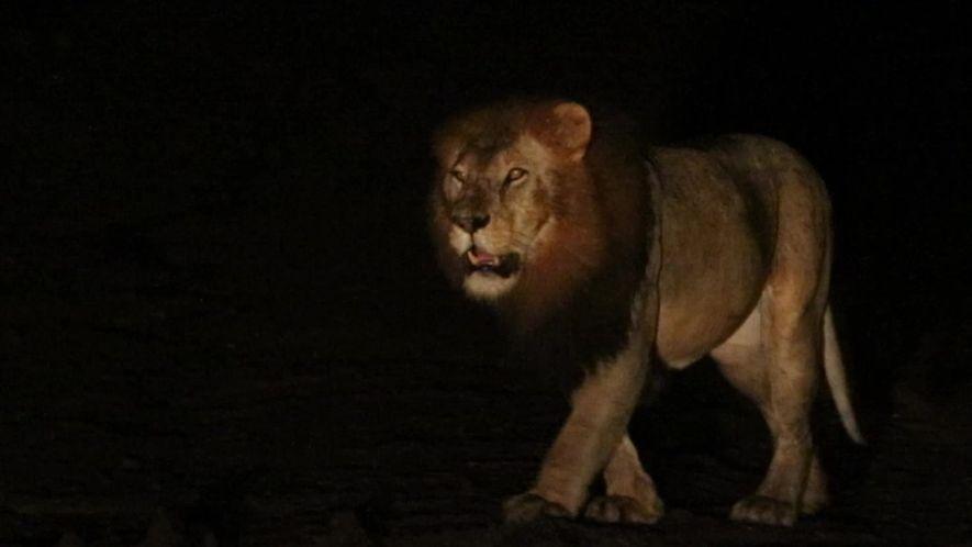 Encontro com leão de juba preta