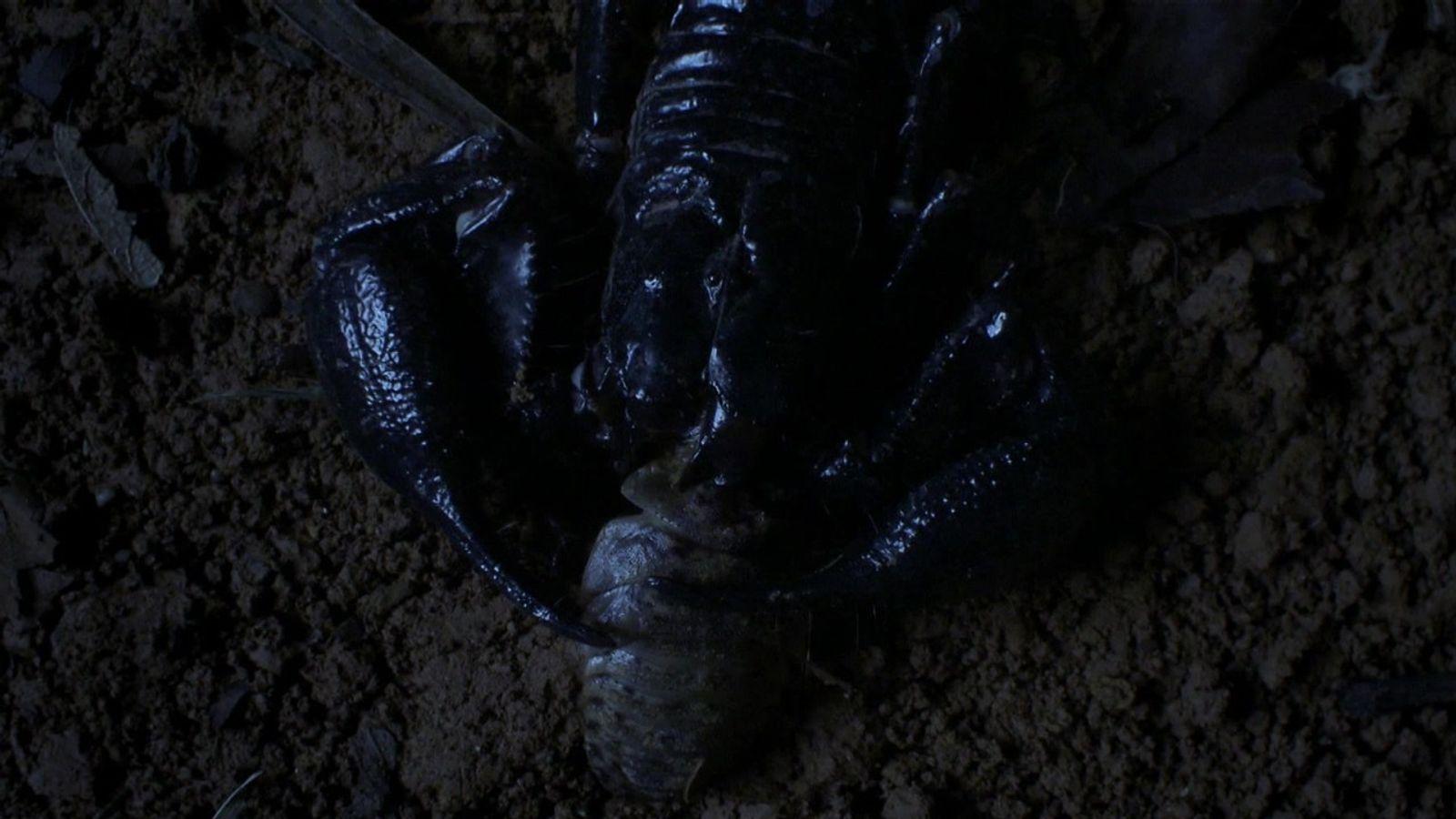 Escorpiões atacam baratas há centenas de milênios