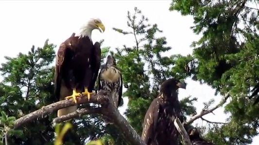 Falcão criado por águias começa a agir como uma delas