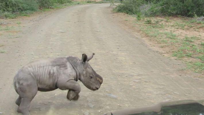 Bebê rinoceronte enfrenta carro, mas muda de ideia