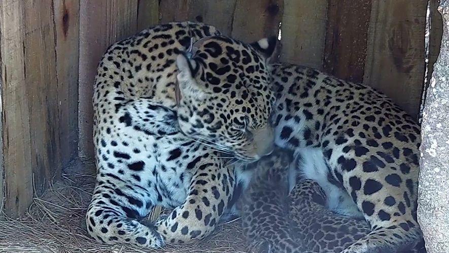 Nascem primeiras onças-pintadas no pantanal argentino em décadas