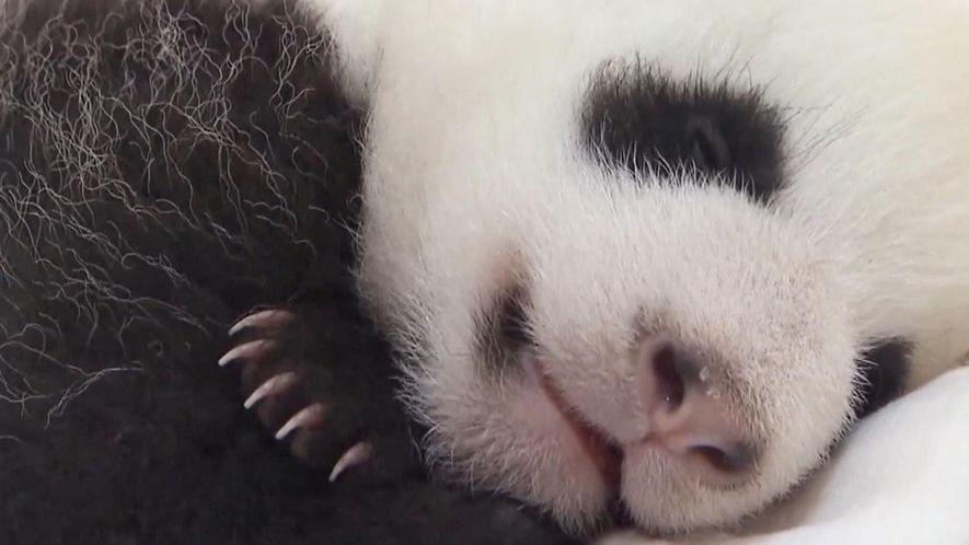 Recorde: 42 pandas nascem em centros de reprodução este ano