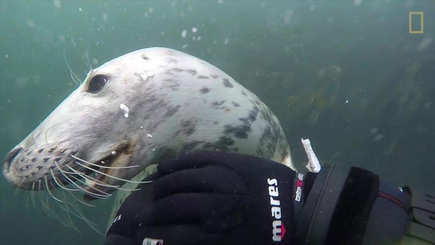 Foca curiosa faz amizade com mergulhadores