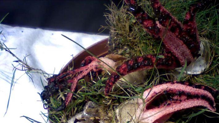 Este fungo parecido com tentáculos de polvo parece ter saído de um pesadelo