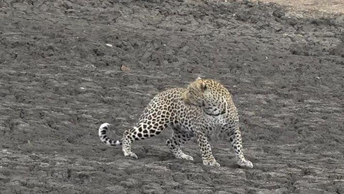 Veja este ganso pregar uma peça em um leopardo