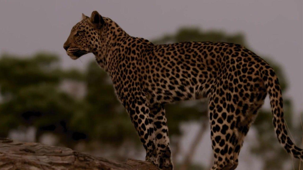 Oportunista e sagaz, leopardo fêmea furta comida de macho | National Geographic