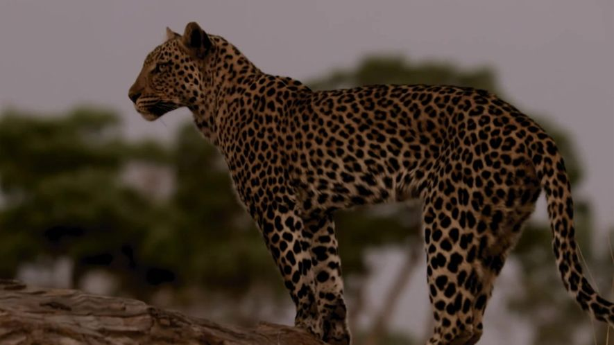Oportunista e sagaz, leopardo fêmea furta comida de macho