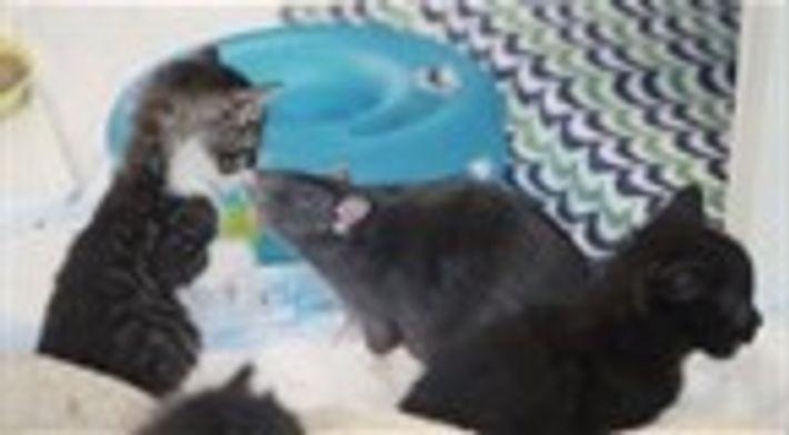 Amizade entre gato e rato
