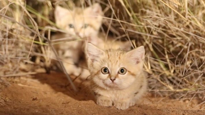 Filhotes de gato-do-deserto são filmados na natureza pela primeira vez
