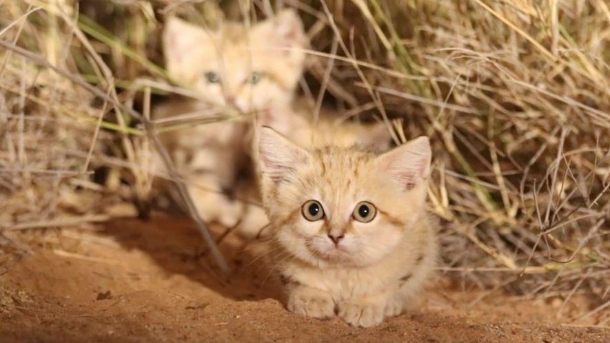 Filhotes de gato-do-deserto filmados na natureza pela primeira vez