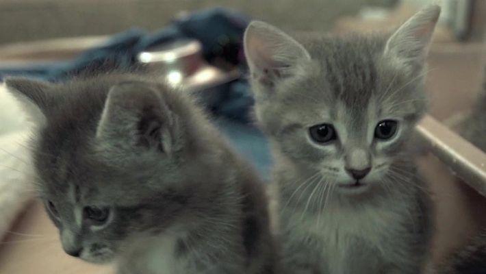 Cientistas tentam descobrir o significado dos miados de gatos
