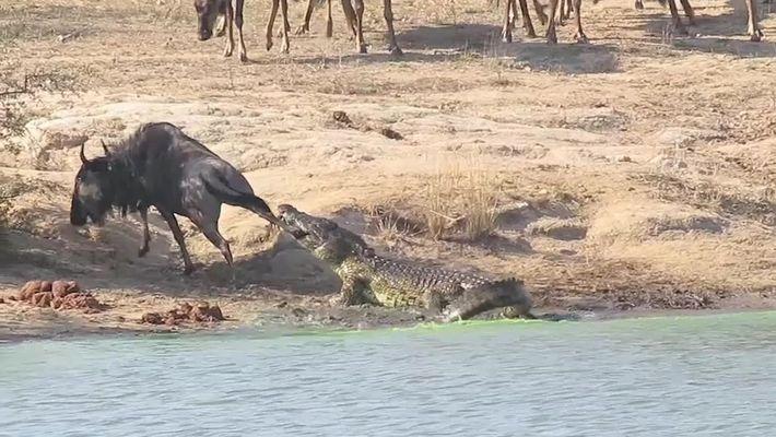 Gnu quase vira comida de crocodilo, mas é salvo por aliados improváveis