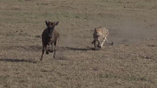 Assista ao veloz ataque de um guepardo