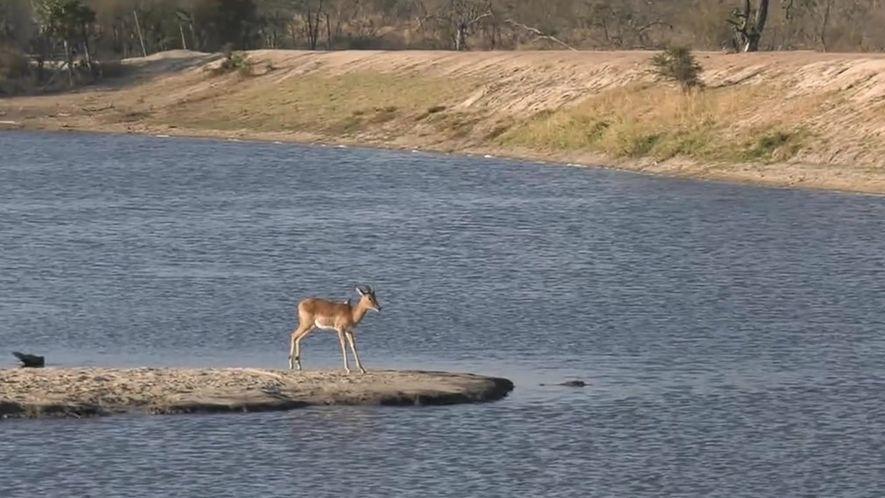 Veja a batalha entre uma impala e um crocodilo