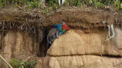 Jaguatirica flagrada ao apanhar uma arara-vermelha no Peru