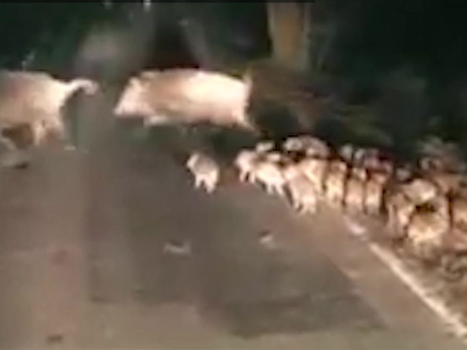 Veja filhotes de javali em uma travessia noturna