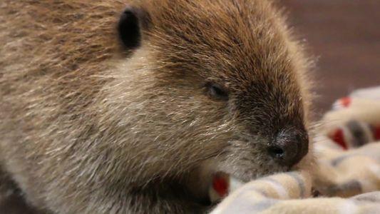 Conheça Justin Beaver, o castor