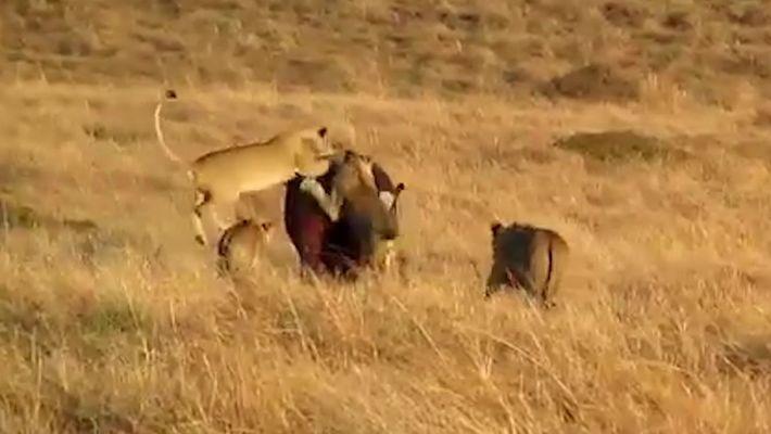 Hipopótamo não se incomoda com ataque de leões