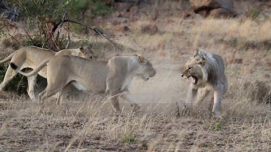 Leão é expulso do próprio bando em vídeo raro