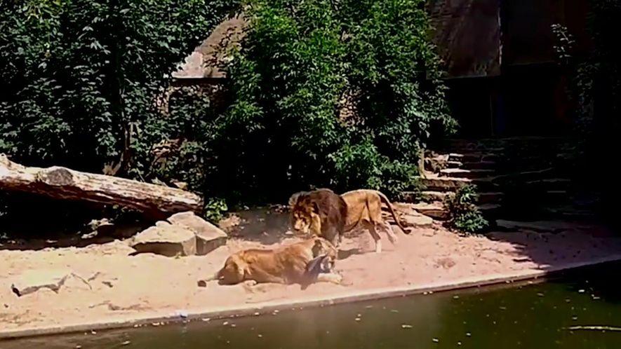 Leão sorrateiro dá o bote em garça desprevenida em zoológico