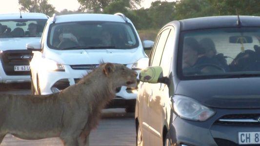 Leão curioso morde porta de carro em safári